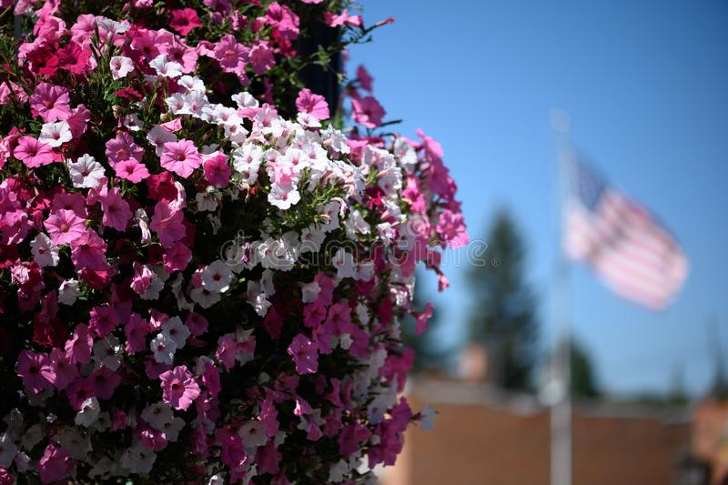 Pink petunias with american flag. Large basket of pink and white petunias with american flag in the background on a sunny day in Philipsburg Montana royalty free stock images