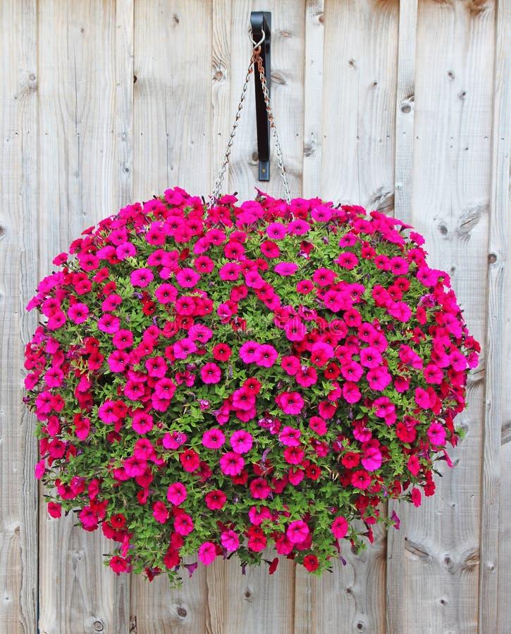 Pink Petunias in a Hanging Basket stock image