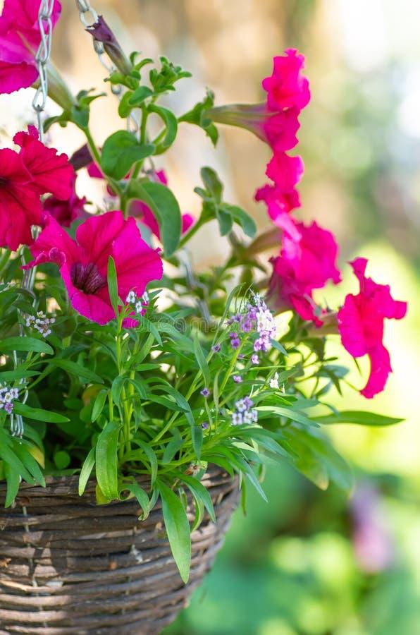 Pink petunias in hanging pots. Wicker pots of wicker to decorate the garden stock image