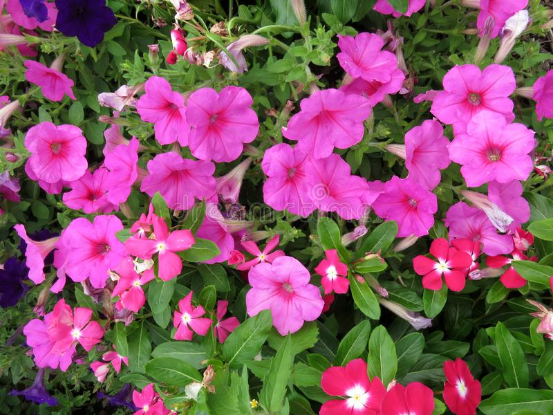 Pink Petunias in Summer in July stock photo