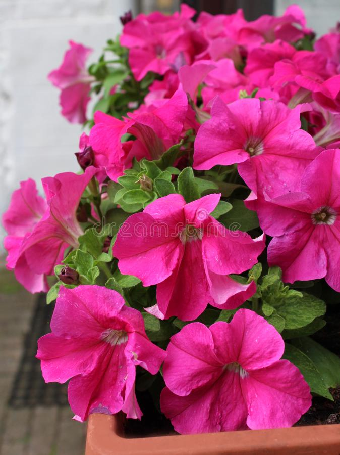 Pink Petunias in a Window Box stock photography