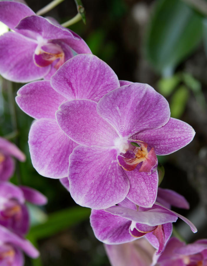 Download Pink Phalaenopsis stock image. Image of orchids, floral - 90255765