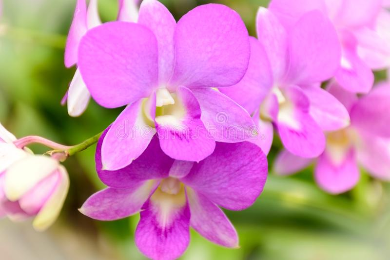 Pink Phalaenopsis or Moth dendrobium Orchid in a day. stock photo