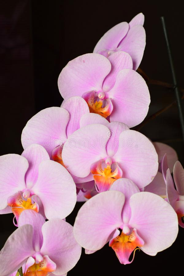 Pink Phalaenopsis or Moth dendrobium. Orchid flower stock image