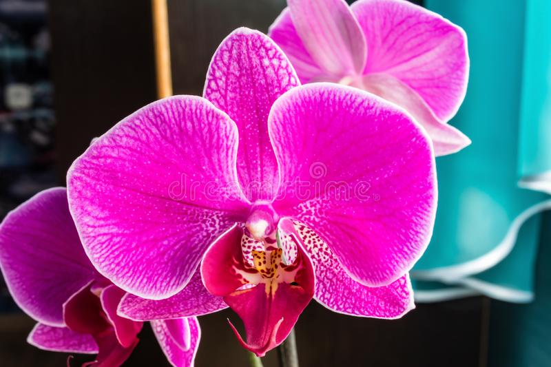 Pink Phalaenopsis or Moth dendrobium Orchid flower in winter or spring day tropical garden near the window at home. Selective focus stock images