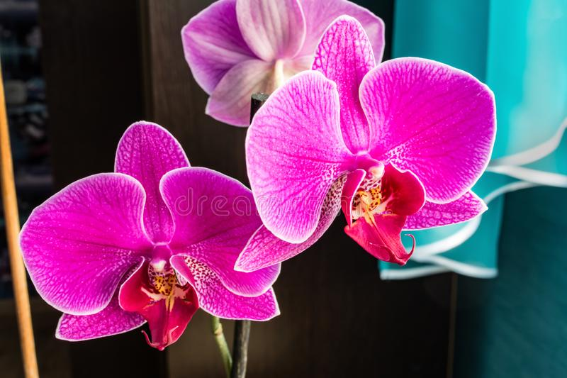 Pink Phalaenopsis or Moth dendrobium Orchid flower in winter or spring day tropical garden near the window at home. Selective focus stock image