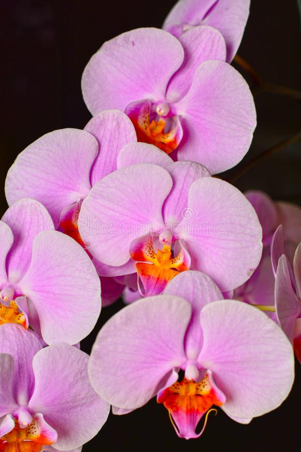 Pink Phalaenopsis or Moth dendrobium. Orchid flower royalty free stock photography