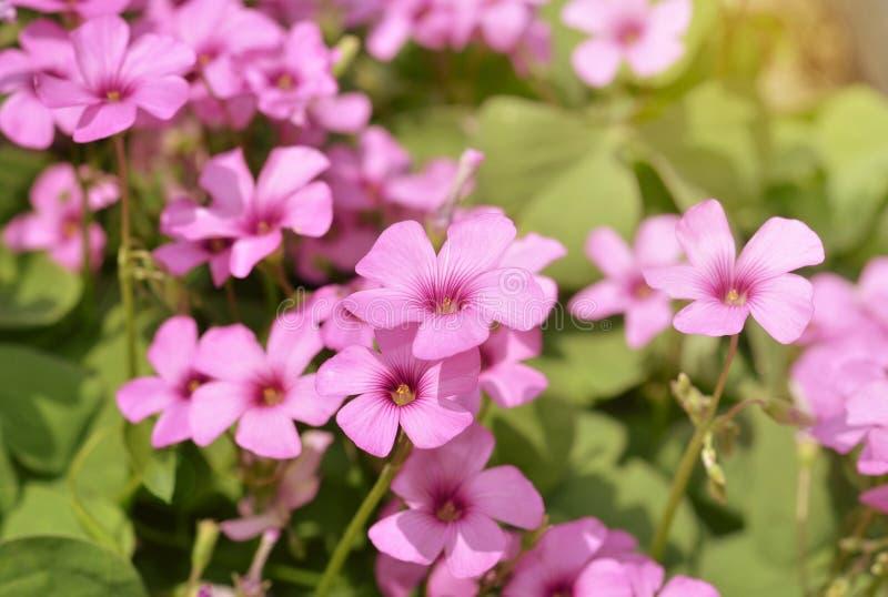 Pink phlox subulata stock photography