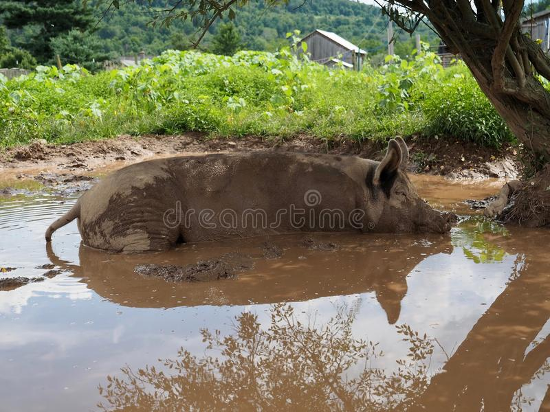 Pink Pig Wallowing in Mud Pond royalty free stock photo