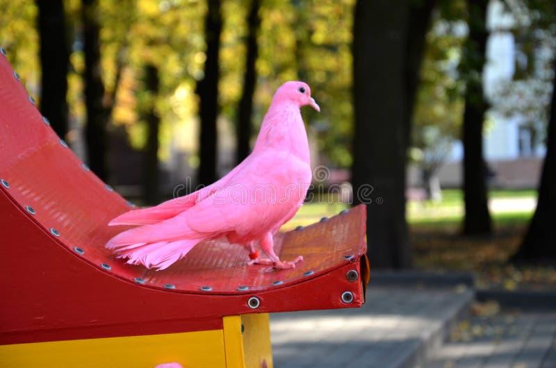 Pink pigeon stock image
