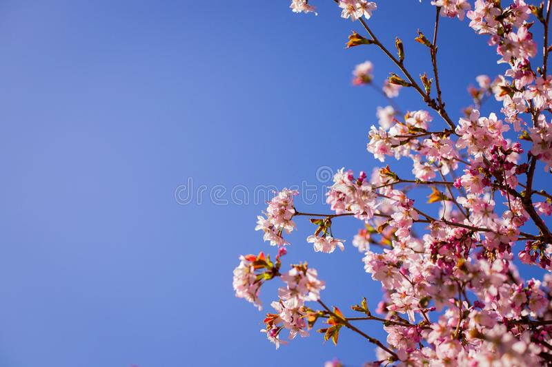 Pink plum blossom.Branches of blossom Plums against blue sky.Background with pink spring blossoms. Cherry tree twigs with blooming royalty free stock photo