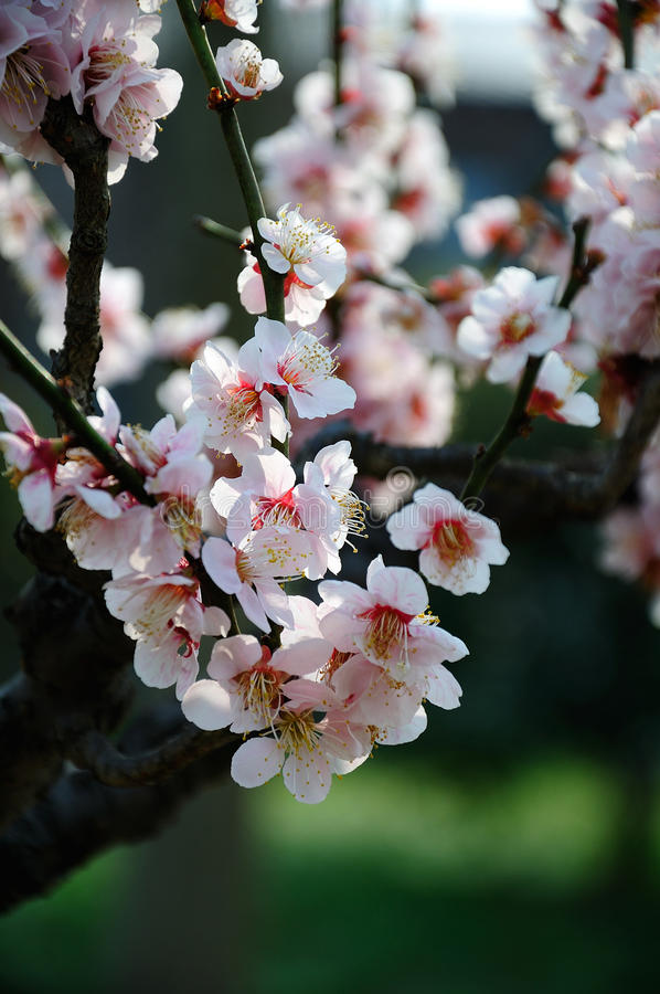 Pink plum blossom stock photos