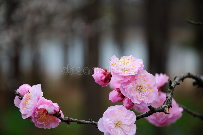 Pink plum blossom royalty free stock photos