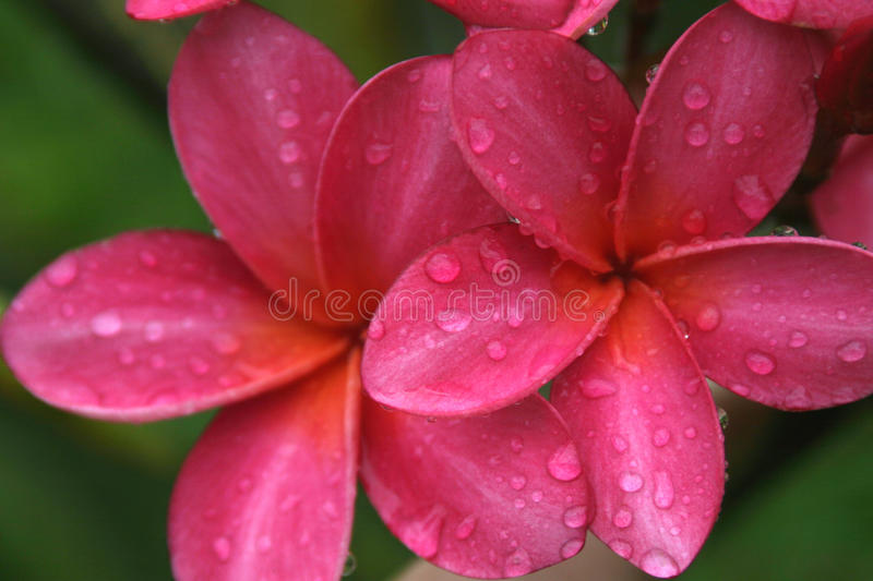 Pink Plumeria. Deep pink plumeria after a rain fall royalty free stock photos