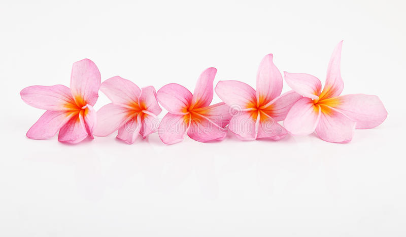 Pink Plumeria. A row of plumeria isolated on white background stock photos