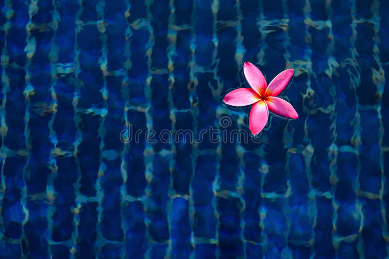Pink Plumeria flower or Frangipani is float on blue background s royalty free stock photos
