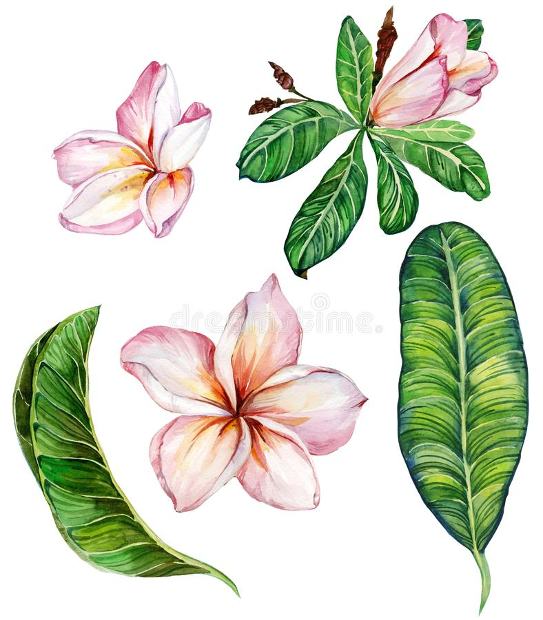 Pink plumeria flower with leaves. Floral set. Isolated on white background. Watercolor painting. stock illustration
