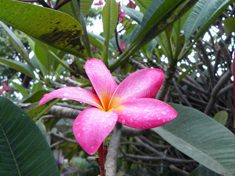 Pink plumeria flower after the rains. Beautiful Natural, Macro photograph the Pink plumeria flower after the rains water drops whit the leaves royalty free stock photos