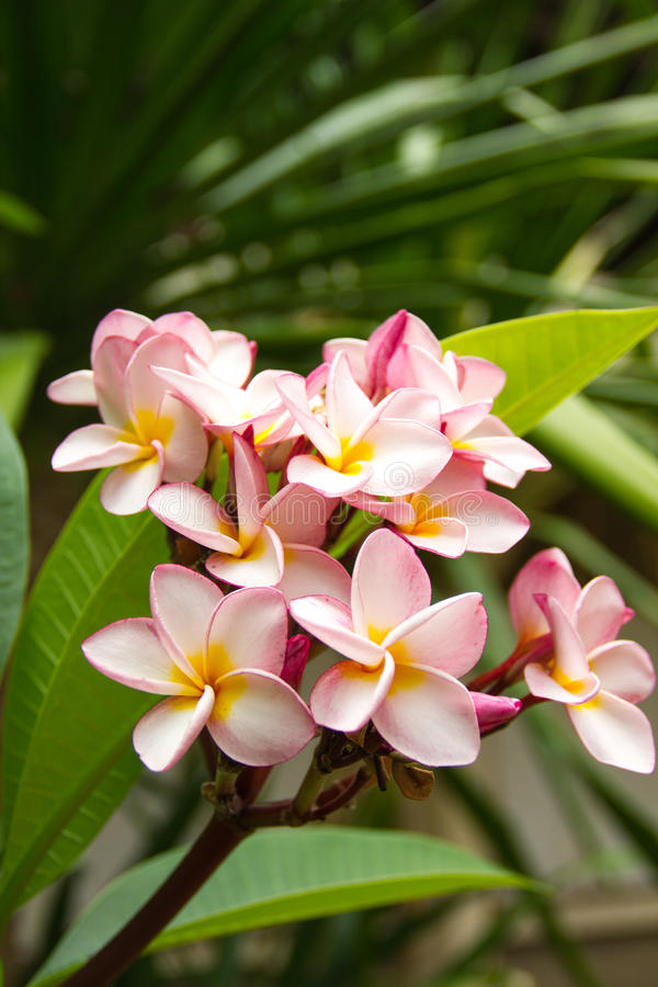 Pink plumeria flower time near noon. Background of natural conditions. Pink plumeria flower blossom time near noon. Background of natural conditions stock photography