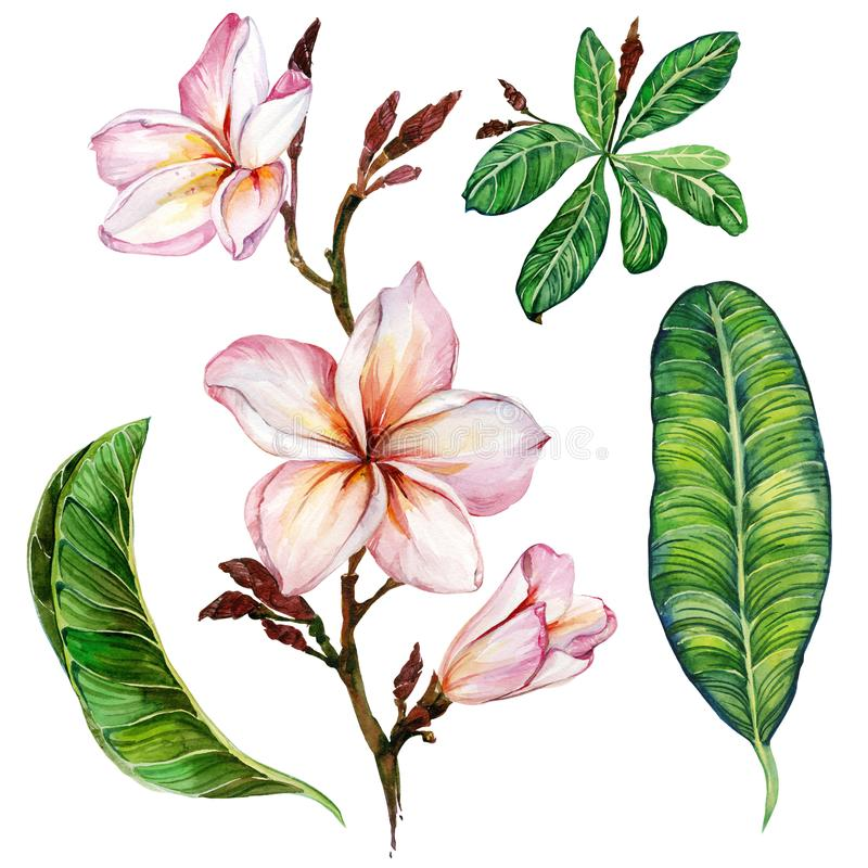 Pink plumeria flower on a twig. Floral set flowers and leaves. Isolated on white background. Watercolor painting. Hand drawn stock illustration