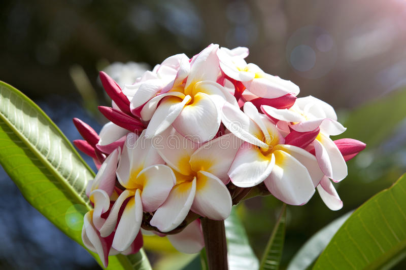 Pink plumeria on the plumeria tree. Pink plumeria on the tree, frangipani tropical flowers stock photos