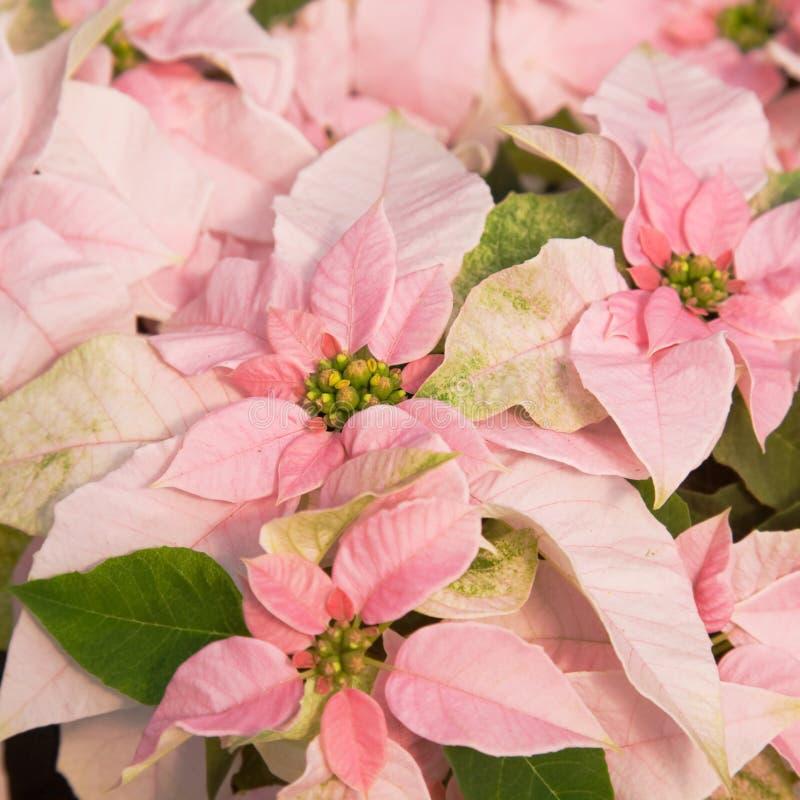 Pink poinsettia stock photo