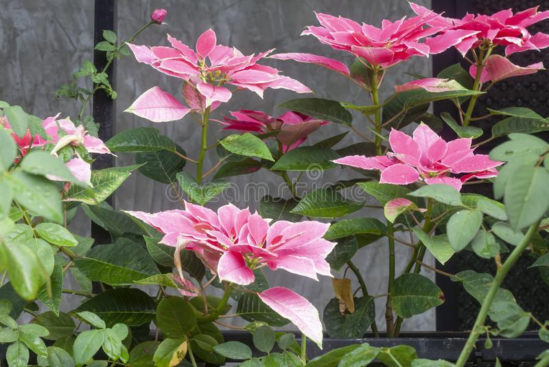 Pink Poinsettia or Euphorbia pulcherrima Wild with rain drops. stock photo