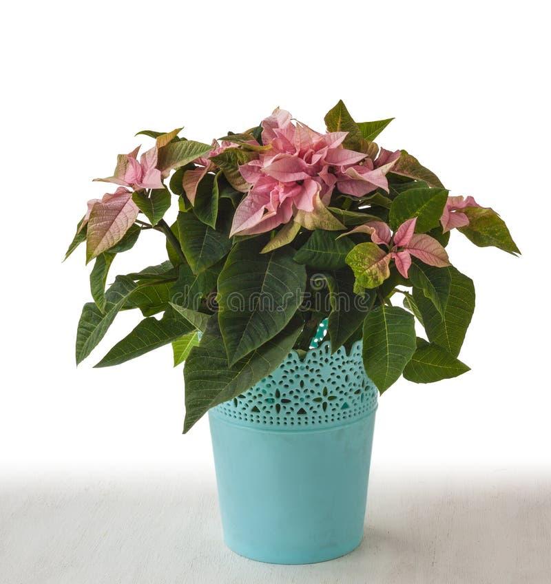 Pink poinsettia (Euphorbia pulcherrima) 'Peterstar Marble'. In blue flowerpot stock images