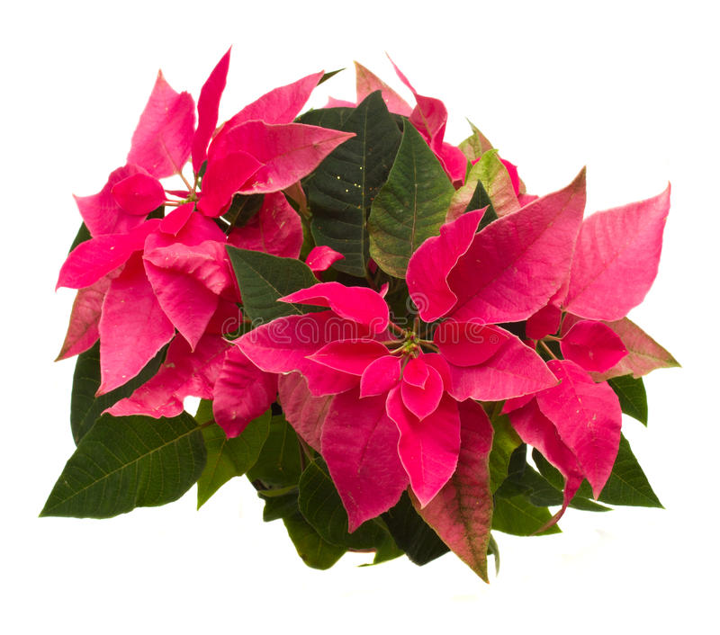 Pink poinsettia flower or christmas star stock image