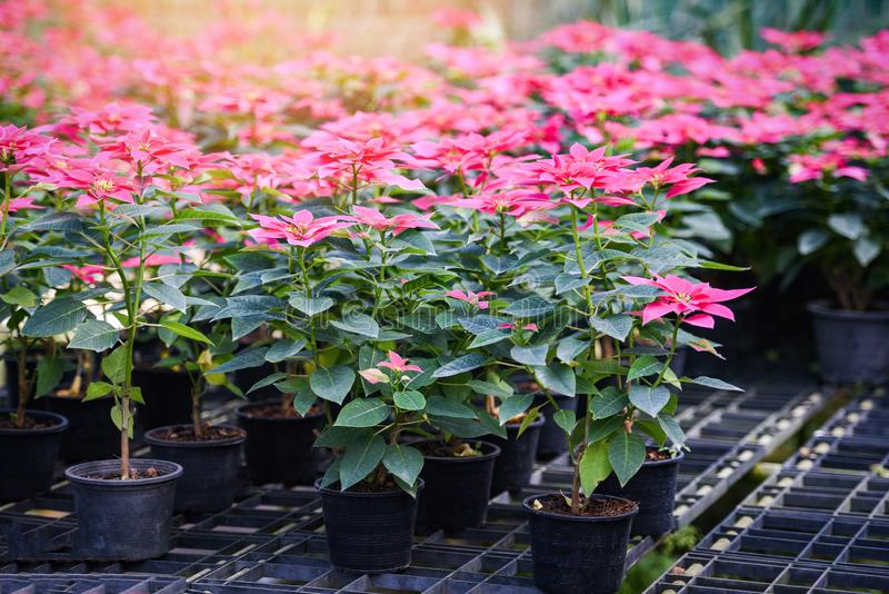 Pink poinsettia in the garden background - Poinsettia Christmas traditional flower decorations Merry Christmas royalty free stock image