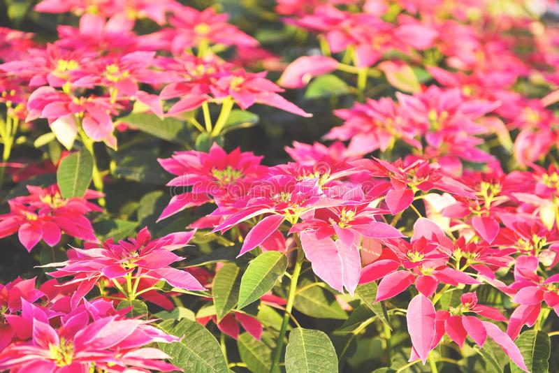 Pink poinsettia in the garden background - Poinsettia Christmas traditional flower decorations Merry Christmas royalty free stock images