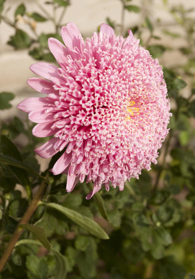 Pink pompons aster stock photos