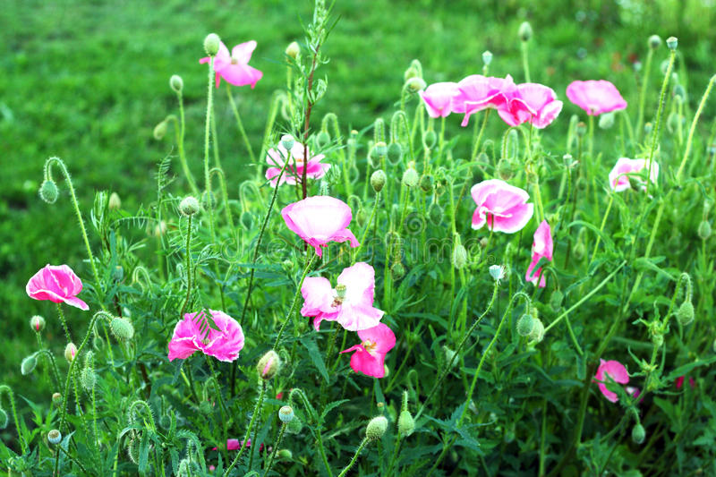 Download Pink poppy stock photo. Image of beautiful, spring, rural - 16118240
