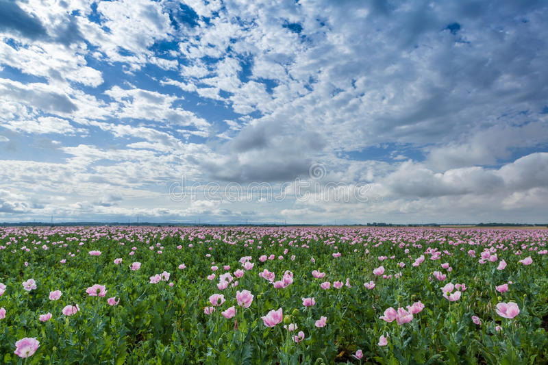 Download Pink poppy field stock image. Image of summer, scene - 25565615