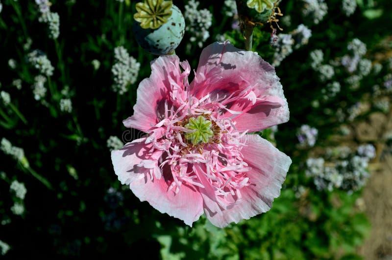 Pink poppy peony - fringed - pompom - bread seed poppy royalty free stock photography