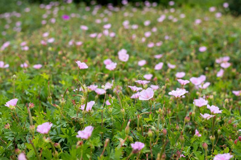 Pink primrose flowers. Lilac evening primrose. Oenothera speciosa. Colorful flower bed as decorative floral background stock photos