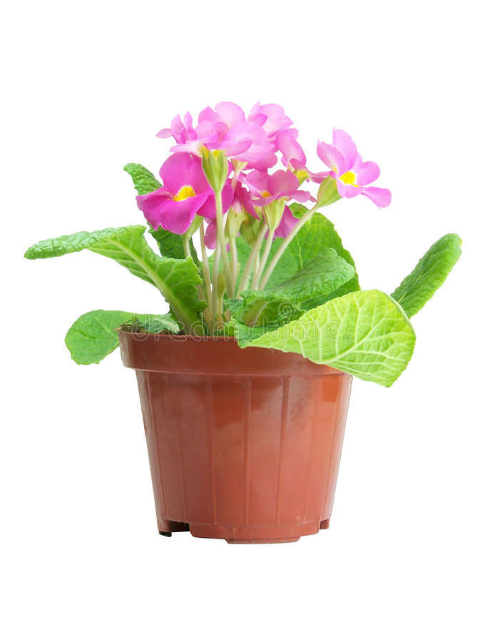 Pink Primrose Isolated royalty free stock images