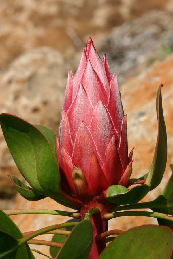 Pink Protea stock photos