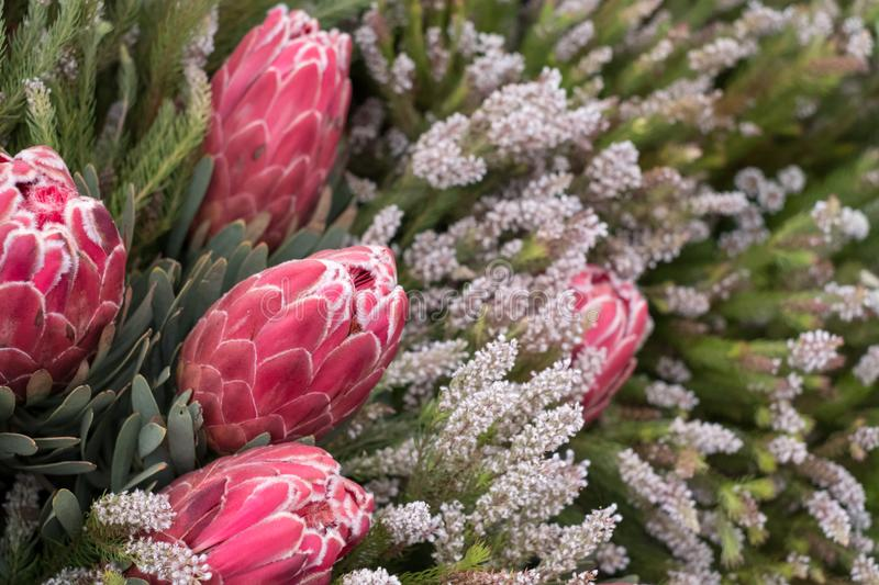 Pink protea flowers, native flower of South Africa. Photographed at the Chelsea Flower Show, London UK stock photo
