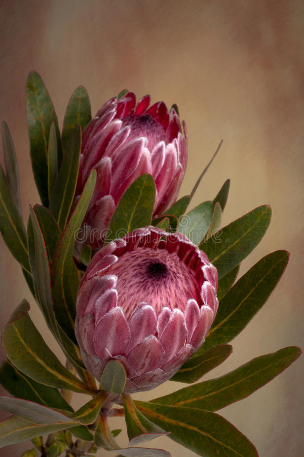 Pink Protea Proteaceae flower stock photography