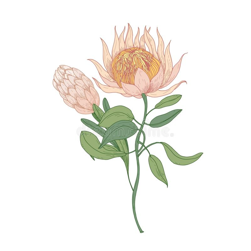 Pink Protea or Sugarbush blooming flowers isolated on white background. Gorgeous detailed drawing of beautiful. Cultivated exotic flowering plant. Natural stock illustration