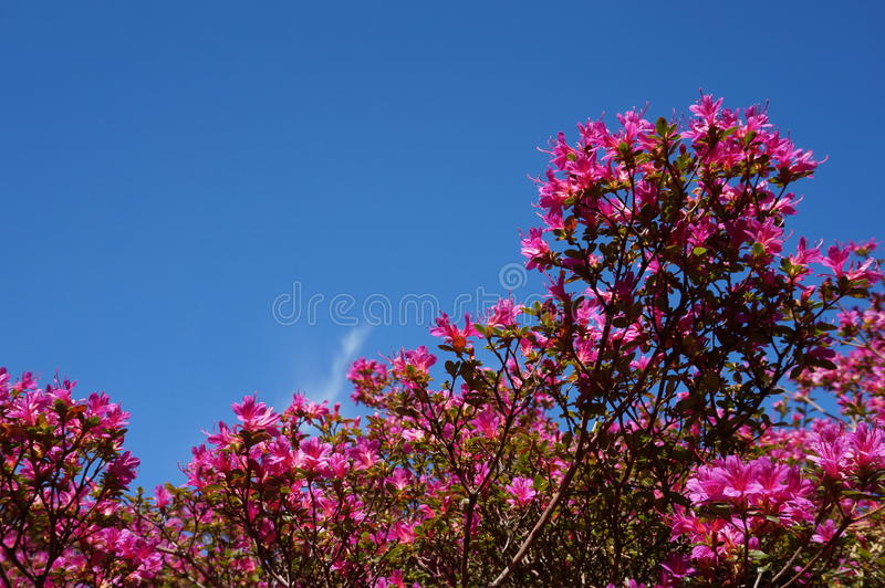 Pink flowers blue sky stock photography