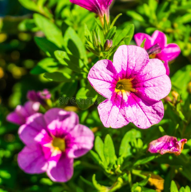 Pink and purple blooming violet flower botanical macro close up royalty free stock image