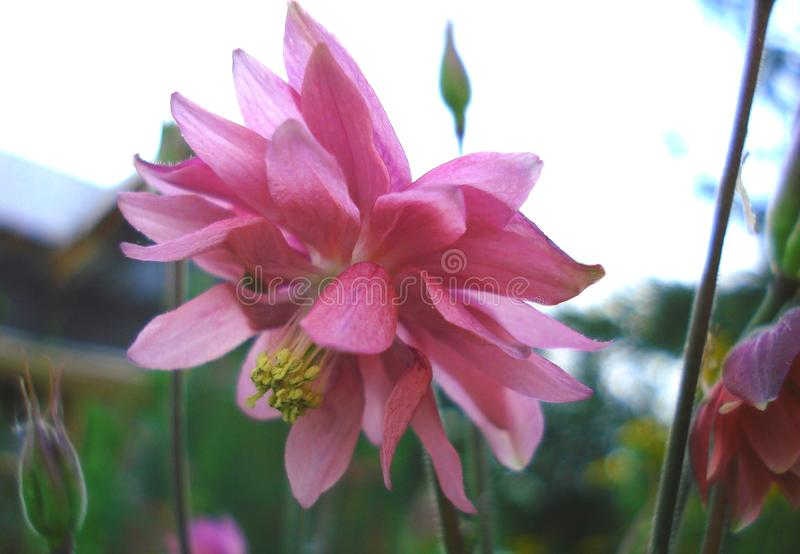 Pink purple columbine Aquilegia formosa . Canadian columbine or aquilegia beautiful wild flower of western Canada. royalty free stock image