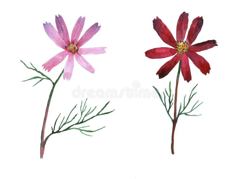 Pink, purple Cosmos bipinnatus, commonly called the garden cosmos or Mexican aster. vector illustration