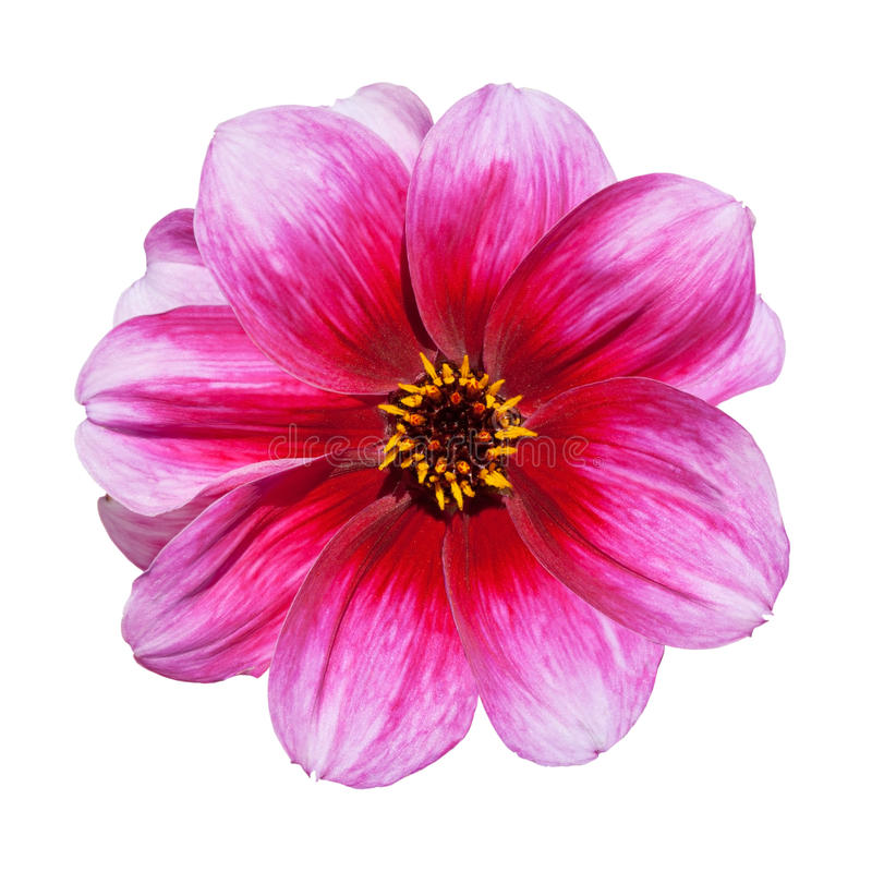 Free Pink Purple Dahlia Flower Isolated On White Royalty Free Stock Image - 15885066