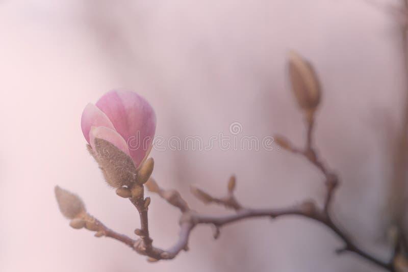 Pink purple flower bloom magnolia bud close up macro on branch o stock photo