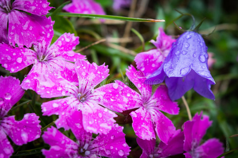 Pink and purple flowers in the Carpathian Mountains. Pink flowers (Dobrogean Pink) and purple flowers (Romanian Bellflower) in the Carpathian Mountains, Romania royalty free stock photos