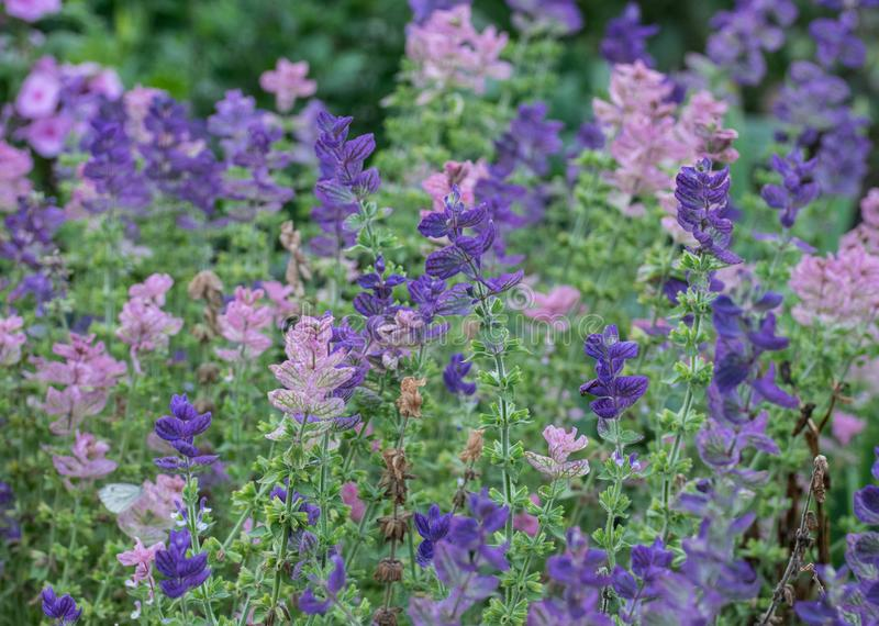 Pink and purple flowers in the summer. stock photo
