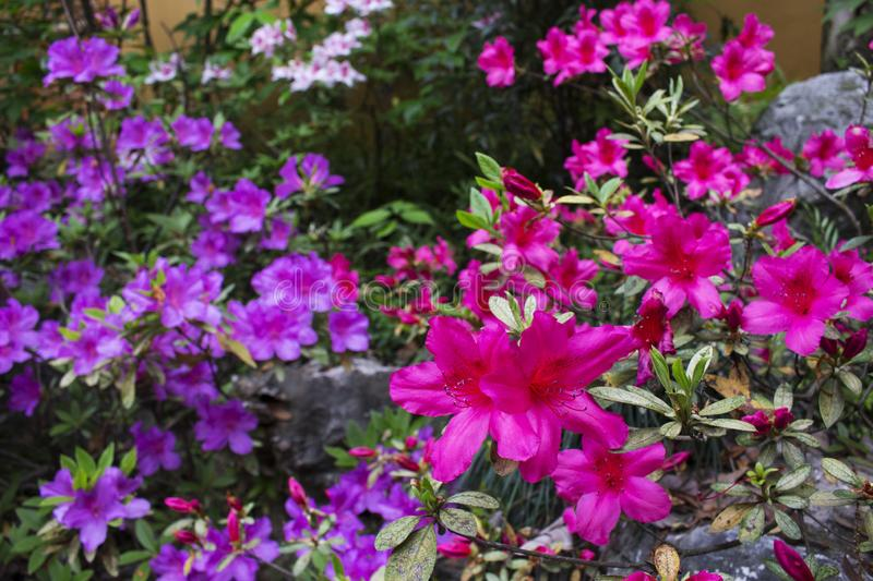 Pink and purple flowers in temple royalty free stock photo